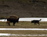 Black Wolf Stalking Bison Calf.jpg