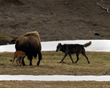 Black Wolf Menacing Bison Calf.jpg