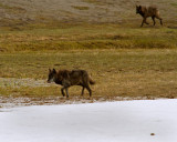 Two Black Wolves by the Gibbon River.jpg