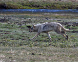 Grey Wolf Running by the Gibbon River.jpg