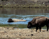Mother and Child Bison Crossing the Madison River.jpg
