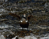 Harlequin Duck With Wings Spread at LeHardy Rapids.jpg