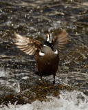 Harlequin Duck Flapping Wings at LeHardy Rapids.jpg