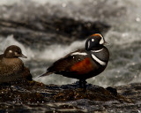 Harlequin Duck on a Rock at LeHardy Rapids.jpg