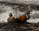 Harlequin Male and Female on a Rock at LeHardy Rapids.jpg