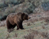 Grizzly Boar in Little America.jpg