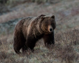 Grizzly at Little America Face On.jpg