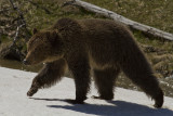 Grizzly Near Roaring Mountain.jpg
