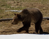 Grizzly Sow Near Roaring Mountain.jpg