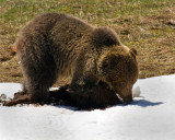 Grizzly at Roaring Mountain Digging for Voles.jpg