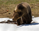 Grizzly Near Roaring Mountain Digging in the Snow.jpg