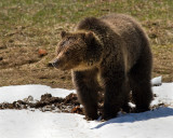 Grizzly Sow Near Roaring Mountain in the Snow.jpg