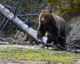 Grizzly Near Roaring Mountain Jumping Over a Downed Tree.jpg