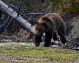 Grizzly Near Roaring Mountain Jumping Over a Downed Tree 2.jpg