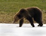 Grizzly Near Roaring Mountain Walking in the Snow.jpg