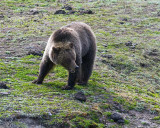 Grizzly Near Roaring Mountain in the Field.jpg
