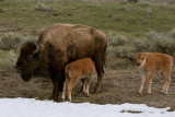 Bison Calf Nursing.jpg