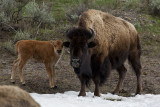 Bison Calf with Momma.jpg