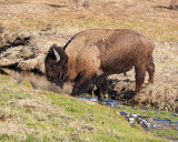 Bison Crossing Soda Butte Creek.jpg