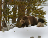 Grizzly Sow at Lake with COY Climbing on Stump.jpg