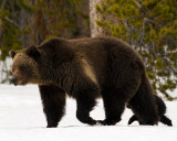 Grizzly Sow Sheltering COY Near Lake.jpg