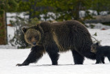 Grizzly Sow and COY in the Snow Near Lake.jpg