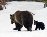 Grizzly Sow with COY in the Snow Near Lake.jpg