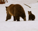 Grizzly Sow at Lake with COY Standing.jpg