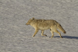 Coyote in the Snow at Canyon.jpg