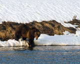 Grizzly Boar at LeHardy Rapids.jpg