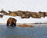 Grizzly Boar on the Carcass at LeHardy Rapids.jpg