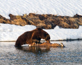 Grizzly Boar Eating a Bison Carcass at LeHardy Rapids.jpg