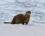 Otter at Mary Bay.jpg