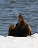 Otter Scratching an Itch.jpg