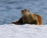 Otter on the Ice at Mary Bay.jpg