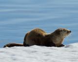 Otter Profile.jpg