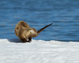 Otter Walking on the Ice.jpg