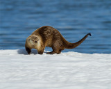 Otter with Tail Pointing.jpg
