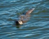 Otter Swimming.jpg
