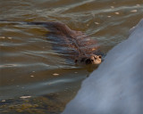 Otter Swimming by the Ice at Mary Bay.jpg