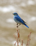 Mountain Bluebird by the Confluence.jpg