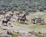 Bighorns in the Meadow.jpg