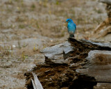 Mountain Bluebird at Mary Bay.jpg