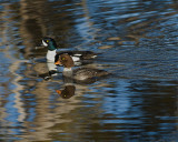 Golden Eye Ducks in Sedge Creek.jpg