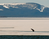 Bald Eagle Against the Mountains at Mary Bay.jpg