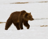 Grizzly in the Snow Near Indian Creek Campground.jpg