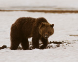 Grizzly Digging in the Snow Near Indian Creek Campground.jpg