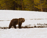 Grizzly Near Indian Creek Campground in the Snow.jpg