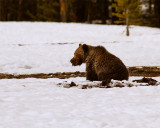 Grizzly with Mouthful of Vole.jpg