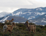 Sheep and Pronghorns Above Yellowstone Picnic Area.jpg
